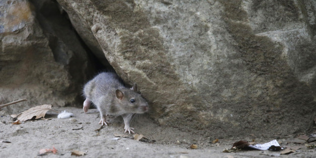 In this Thursday, Sept. 17, 2015, photo, a rat leaves its burrow at a park in the Chinatown neighborhood of New York. The city's complaint hotline is on pace for a record year of rat calls, exceeding the more than 24,000 over each of the last two years. (AP Photo/Mary Altaffer)
