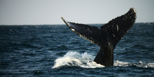 Une baleine à bosse du Pacifique sud, au large du Pérou le 1er octobre 2015