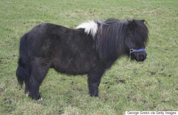 hetland pony