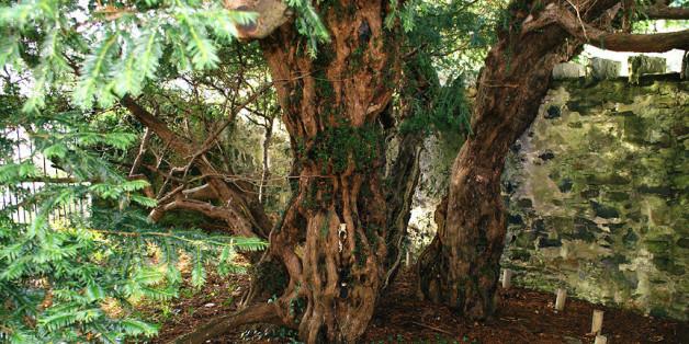 """Le plus vieil arbre du Royaume-Uni est en train de """"changer de sexe"""""""