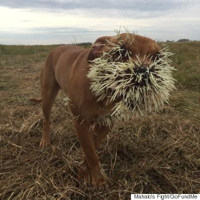 mahalo dog porcupine