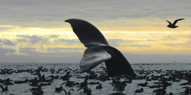 This Sept. 7, 2005 photo released by National Oceanic and Atmospheric Administration shows a humpback whale diving among an aggregation of short-tailed shearwaters in Cape Cheerful, near Unalaska, Alaska. The federal government is proposing removing most of the world's humpback whale population from the endangered species list. National Oceanic and Atmospheric Administration Fisheries announced on Monday, April 20, 2015 that they want to reclassify humpbacks into 14 distinct populations, and rem