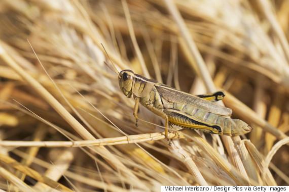 grasshopper alberta