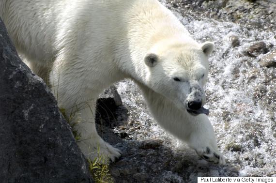 polar bears alberta