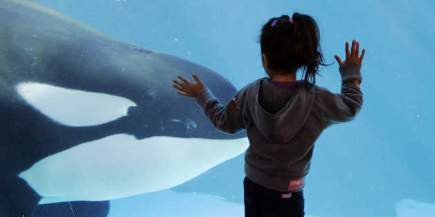 FILE  - In this Nov. 30, 2006, file photo, a young girl watches through the glass as a killer whale passes by while swimming in a display tank at SeaWorld, in San Diego. SeaWorld wants to greatly expand the tanks it uses to hold killer whales in San Diego but animal rights activists are opposed, saying breeding the animals in captivity is cruel no matter the size of the tanks. A state agency is expected to consider Thursday, Oct. 8, 2015, how much regulators should weigh in on the $100 million p