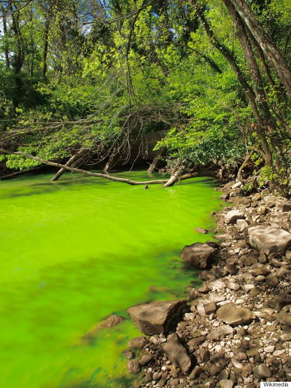 bluegreen algae