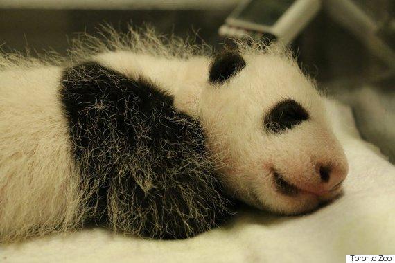 giant panda toronto