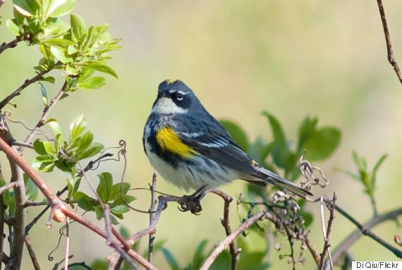 songbird ontario