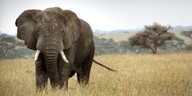 Sex-Studie: Elefanten haben nicht das größte Sperma.