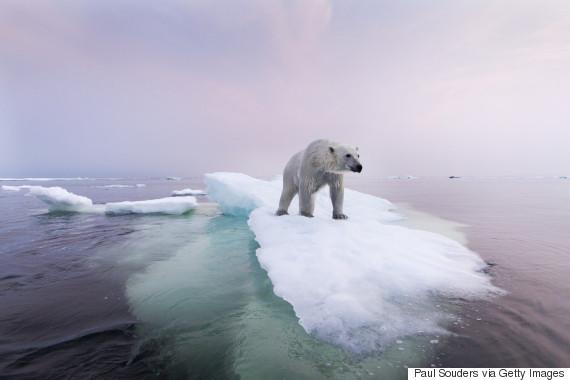 polar bear churchill manitoba