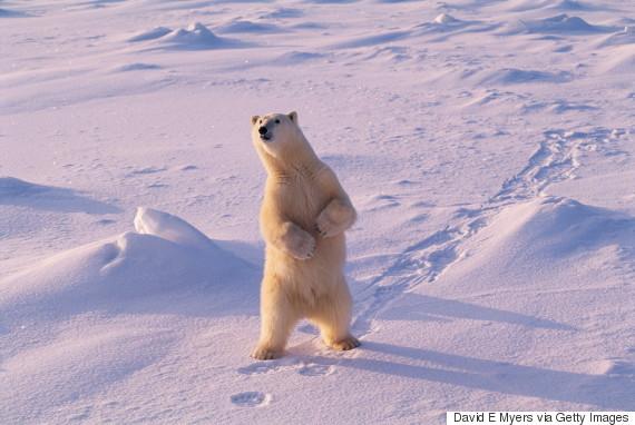 polar bears churchill manitoba