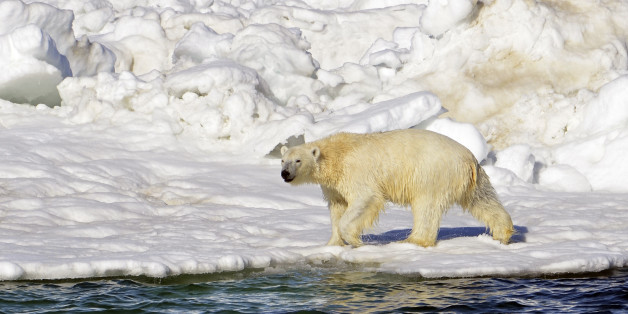FILE - In this June 15, 2014 file photo, a polar bear dries off after taking a swim in the Chukchi Sea in Alaska. A Justice Department lawyer told appeals court judges Tuesday, Aug. 11, 2015, in Anchorage, Alaska, that they should overturn a lower court decision rejecting a U.S. Fish and Wildlife Service plan for polar bear critical habitat. (Brian Battaile/U.S. Geological Survey via AP, File)
