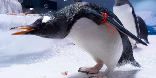 Gentoo Penguins celebrate their Anniversary at the London Aquarium to mark the one-year opening of the Antarctic themed Penguin enclosure, Sea Life Aquarium, London, Wednesday, June 20, 2012. (AP Photo/Jonathan Short)