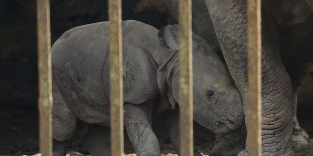 A one-day old male rhino calf stands near its mother inside a cage at the Assam state zoological park in Gauhati, India, Monday, Sept. 2, 2013. Assam is home for the world's largest concentration of rhinos. (AP Photo/Anupam Nath)