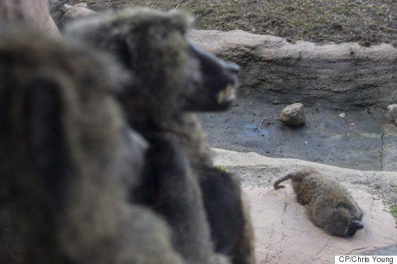 toronto zoo baboon fight 2