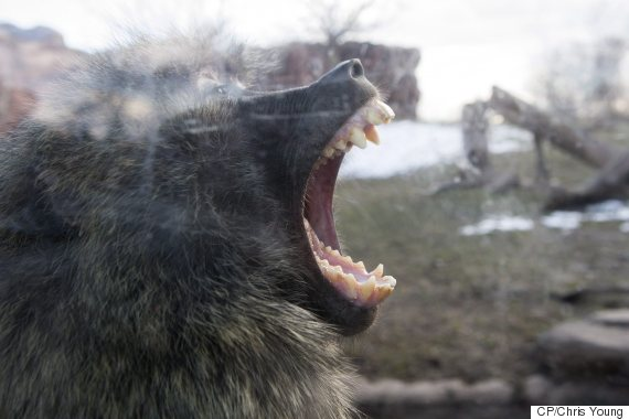 toronto zoo baboon fight video