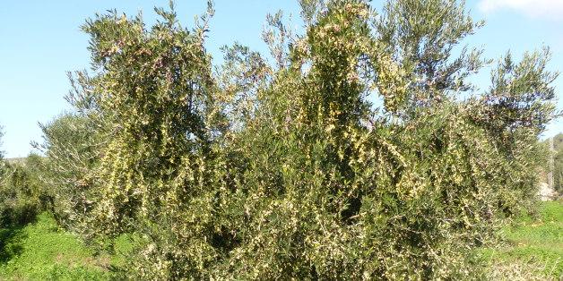à Ghar El Melh, nord-est de la Tunsie (Olives in Ghar El Melh, North-east of Tunisia)