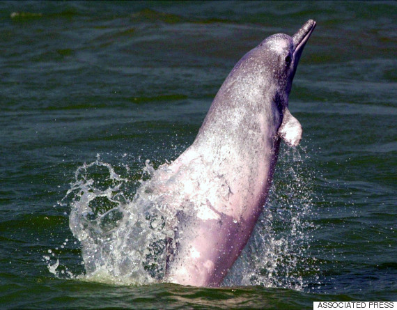 pink dolphine