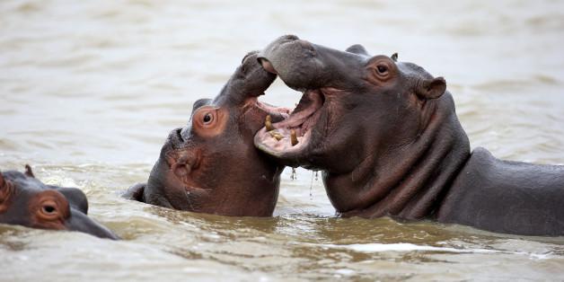 Hippopotamus, (Hippopatamus amphibius), two adults in water fighting, Saint Lucia Estuary, Isimangaliso Wetland Park, Kwazulu Natal, South Africa.