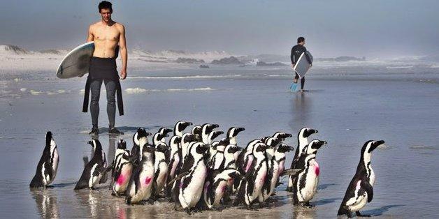 Des manchots du Cap à la Fondation pour la conservation des oiseaux des côtes, au Cap, le 30 novembre 2013