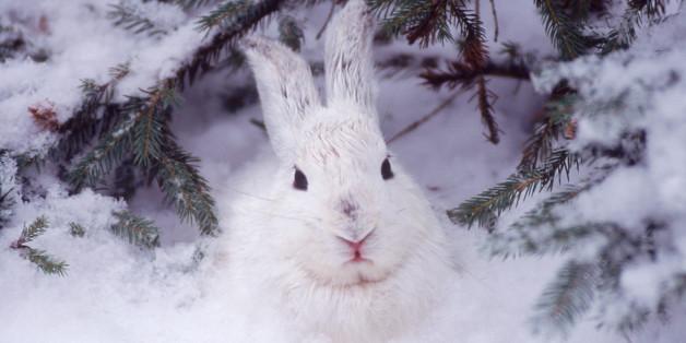 Snowshoe hare, MT