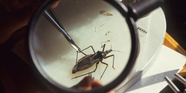 Triatominae ist eine Raubwanze, die Chagas übertragen kann.