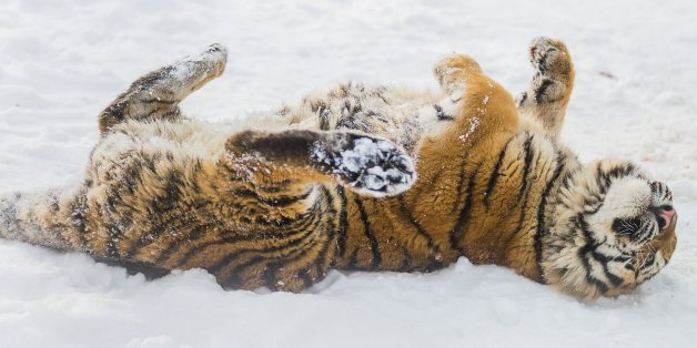 A Siberian tiger, Panthera tigris altaica, enjoys the snow in its enclosure in the Nyiregyhaza animal park in Nyiregyhaza, 245 kilometers east of Budapest, Hungary, Wednesday, Jan. 29, 2014. (AP Photo/MTI, Attila Balazs)