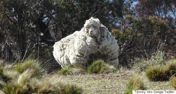 sheep merino canberra