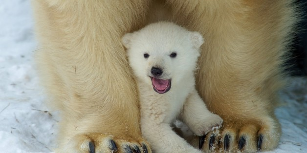 Polar bear cub plays with Polar bear mother Gerda in Zoo in the Siberian city of  Novosibirsk, about 2,800 kilometers (1,750 miles) east of Moscow, Russia, Friday, March 7, 2014. The first cub of Polar bear couple Kai and Gerda was born at Novosibirsk Zoo in early December. (AP photo/Ilnar Salakhiev)