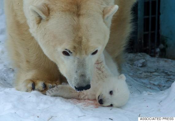 polar bear russia