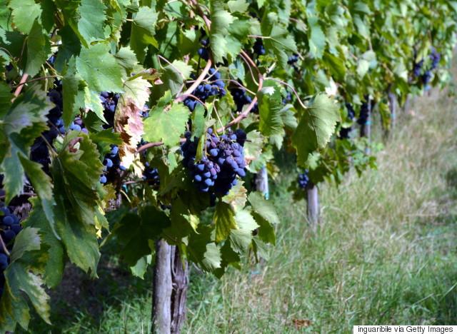 muscat wine red