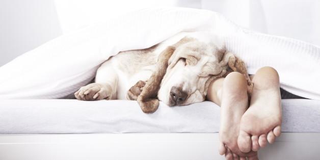 Dog sleeping in bed alongside master's feet