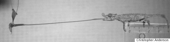 rhampholeon spinosus chameleon