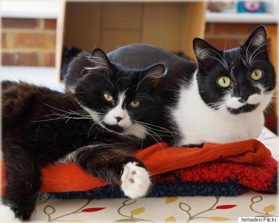 black and white cat