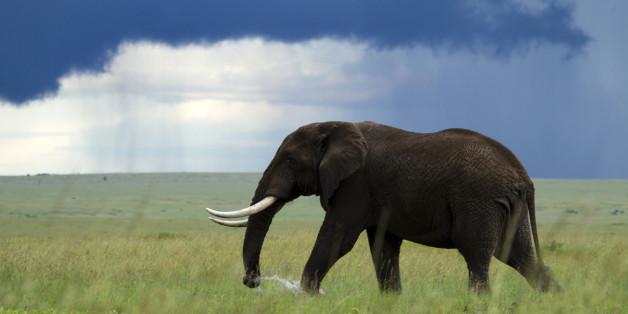 Kenya, Masai Mara national game reserve, elephant (Loxodonta africana), male in the marsh, rainy season