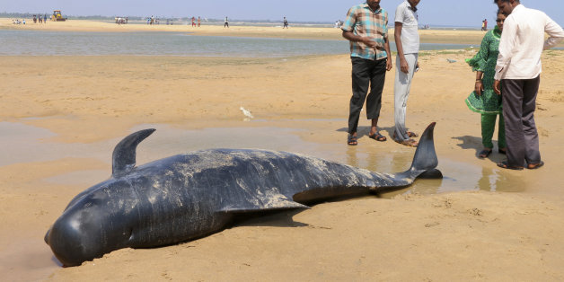 People look at one among the dozens of whales that have washed ashore on the Bay of Bengal coast's Manapad beach in Tuticorin district, Tamil Nadu state, India, Tuesday, Jan.12, 2016. More than 80 whales have washed ashore on India's southern coast. The top government official in the southeastern port town of Tuticorin said the short-finned pilot whales began washing up on beaches Monday evening. (AP Photo/Senthil Arumugam)