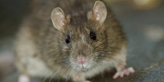 Über Flöhe kann die Pest von der Ratte zum Menschen übertragen werden.