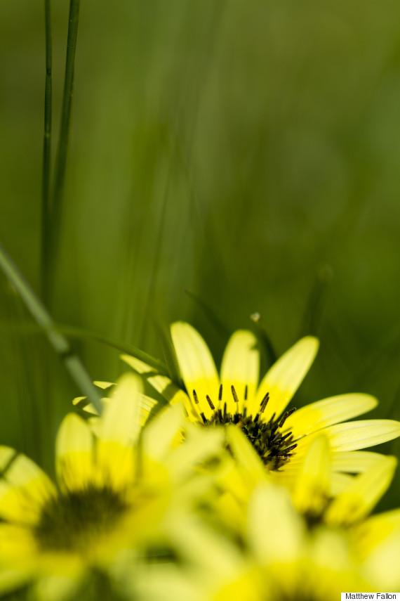 flower daisy national arboretum canberra