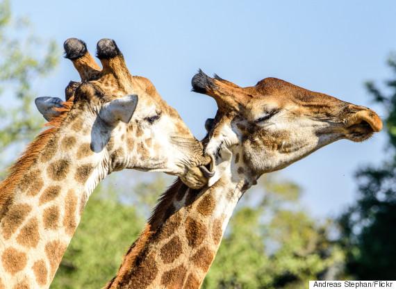 giraffes coupling