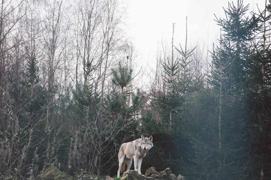 sun of wolves