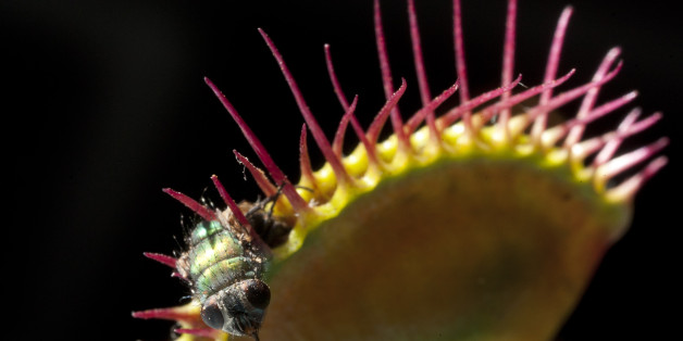In this photo taken Dec. 28, 2010, an insect is devoured by a Dionaea Muscipula during a carnivorous plants exhibition at the Botanic Garden in Bogota, Colombia. (AP Photo/William Fernando Martinez)