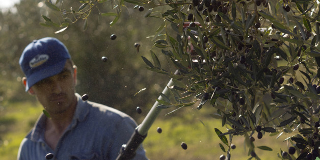 A worker uses an electric comb to harvest frantoio olives in the Pagliatura estate in Magliano, central Italy, Saturday, Oct. 31, 2015. According to Coldiretti Italian farmers association there are some 250 million olive trees in Italy, requiring some 50 million labor days to harvest for a rough 2 billion Euros of income, which makes Italy the world's second largest producer of olive oil after Spain. (AP Photo/Domenico Stinellis)