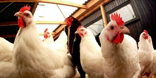 L'approvisionnement du secteur avicole national en poussins reproducteurs en provenance de la France est estimé à plus de 60%.