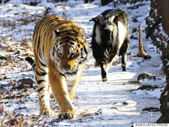 goat tiger