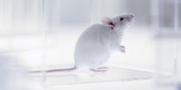 Mouse looking up in laboratory