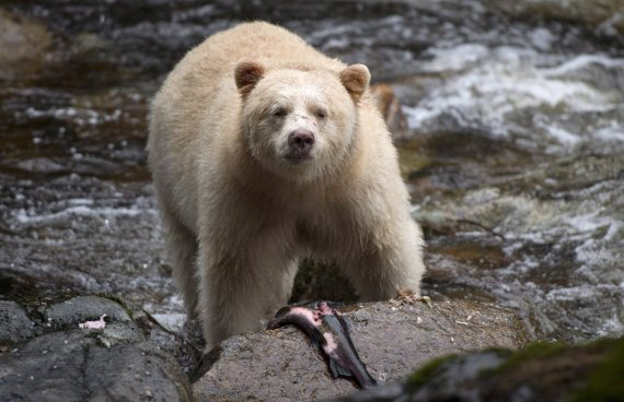 great bear rainforest grizzly hunt