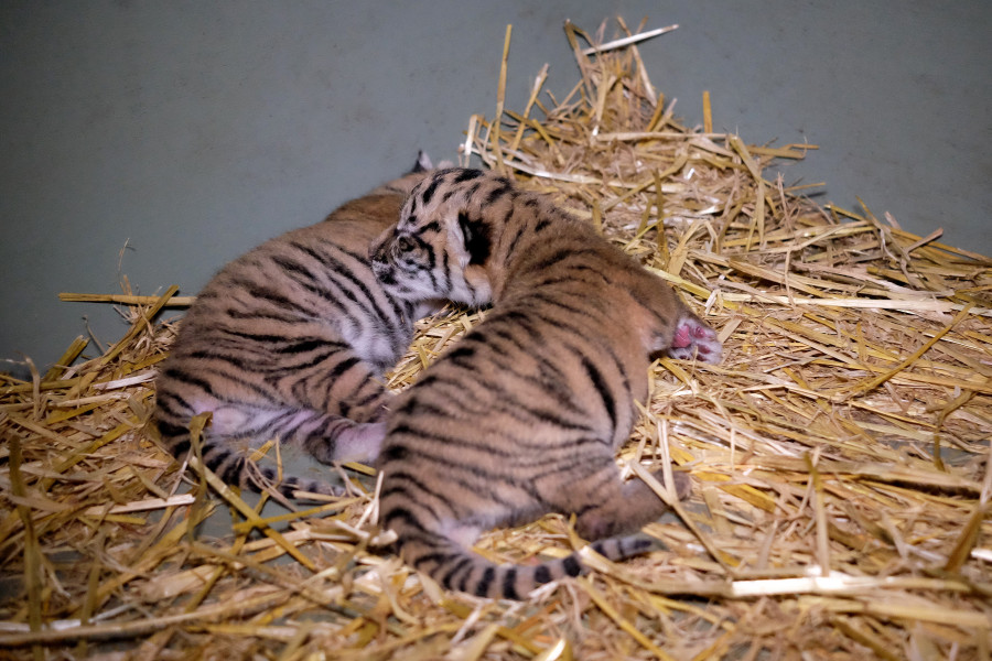 australia zoo tiger cubs