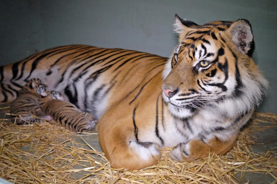 australia zoo cubs