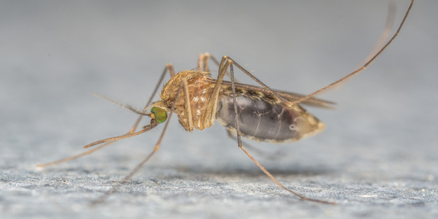 A Macro photo of a Mosquito