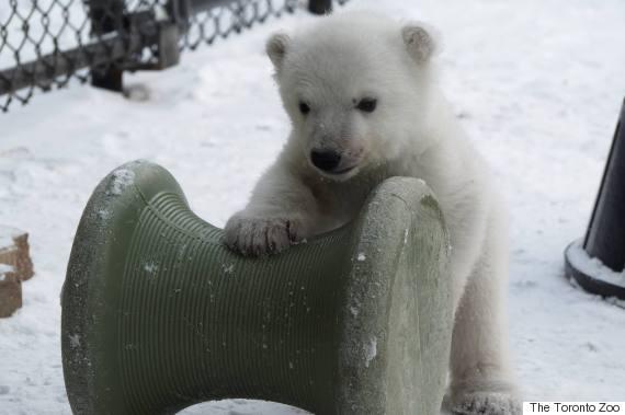 polar bear roll